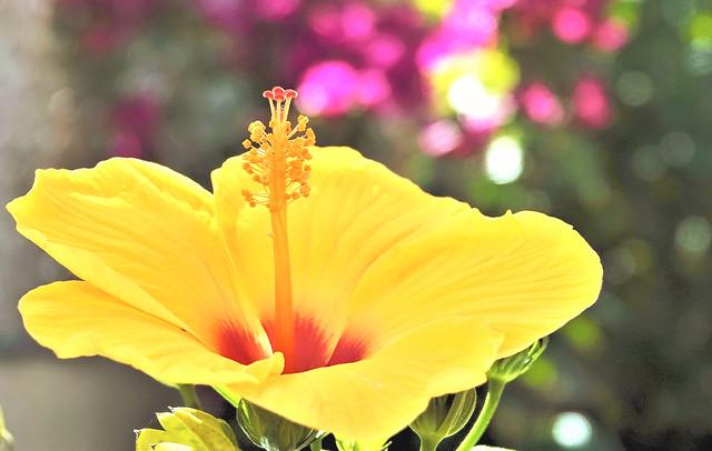 Un souvenir d'un été en confinement covid19, égayé par les couleurs vivifiantes de l'hibiscus.