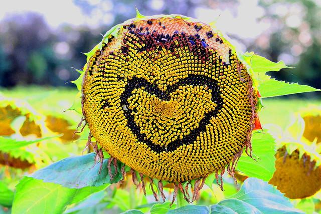 Interesting Sunflower - France
