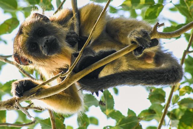 Mono Carayá macho juvenil