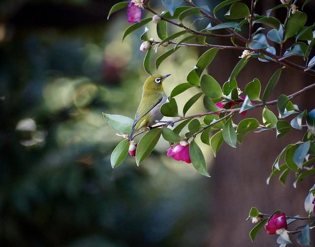 山茶花メジロ-2 Camellia sasanqua & Japanese white-eye 💜 冬ごもり(巣籠も) Stay in Winter(Stay in the winter nest)-49