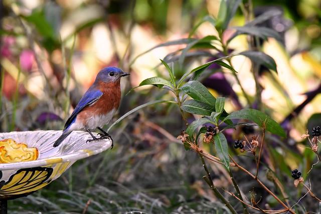 Mr. B (Eastern Bluebird) DSC_6526