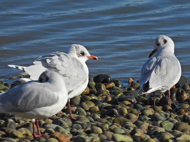 Mediterranean Gull, SovHbr, Jan 25 2021, P1 (1)