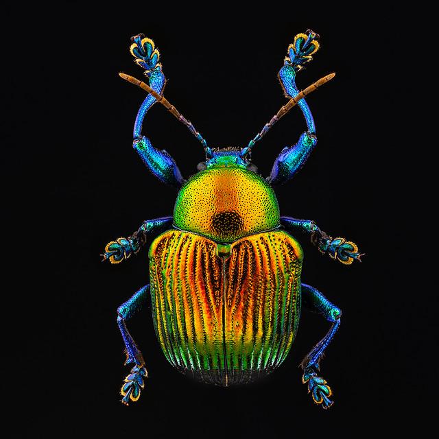 Chrysomelidae sp.