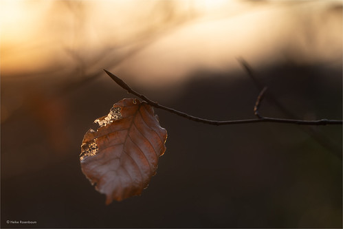bergischesland winter deutschland germany woodland forest wald local homepatch leaf beechleaf earthtones imperfection imperfect macro macrophotography sunset colours bokeh blatt brown ngc