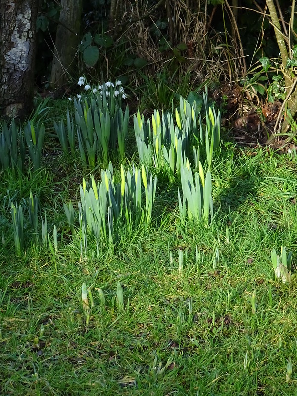 Daffs - with a hint of yellow at the bud....