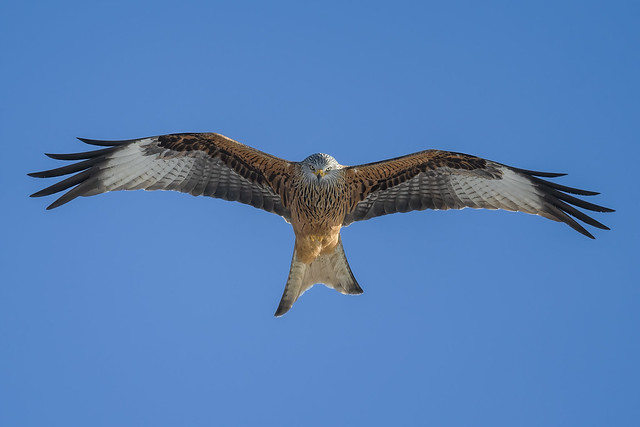 Red Kite 2 Jan 2021