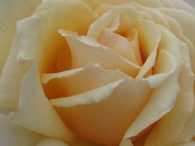 Detail of a Cappuccino Rose Bloom - St Kilda Botanical Gardens, St Kilda