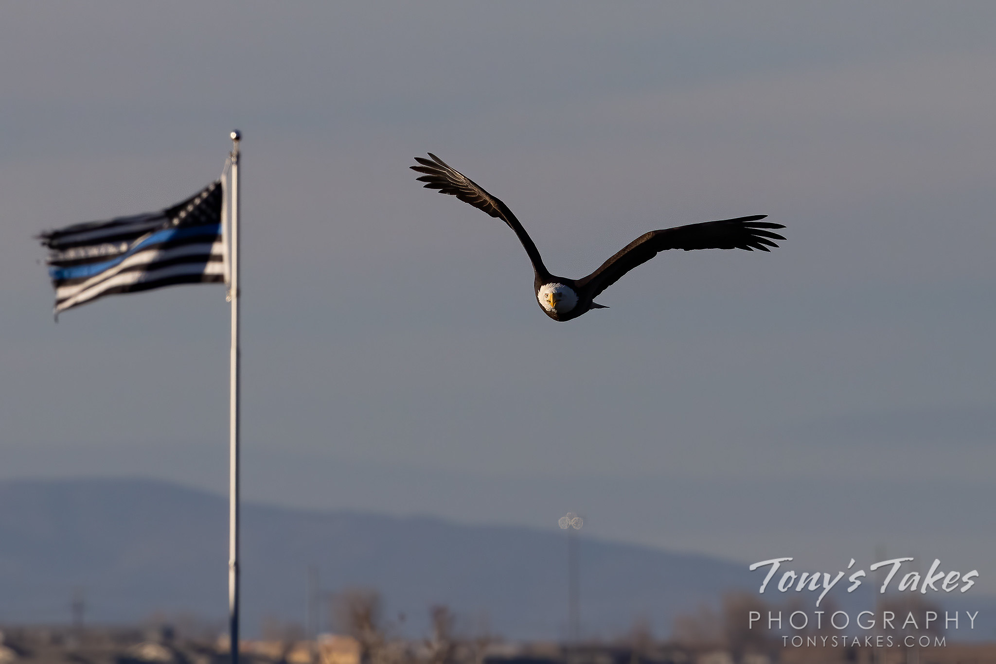 Bald eagle and the thin blue line