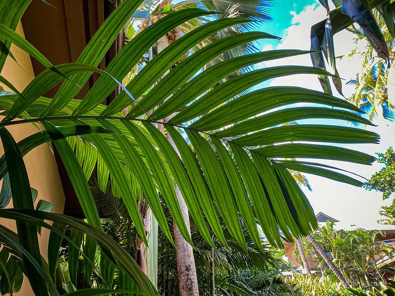Pinanga limosa