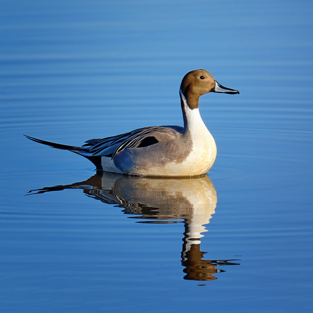 Floating: Northern Pintail