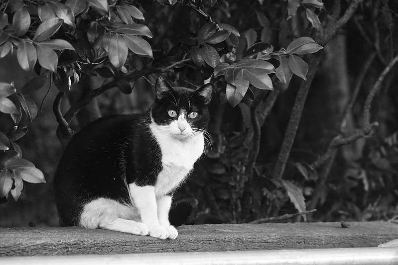 20Sony α7Ⅱ+TAMRON 28 200mm f2 8 5 6 RXD+Black Mist東池袋中央公園の猫だまり 黒白八割れ