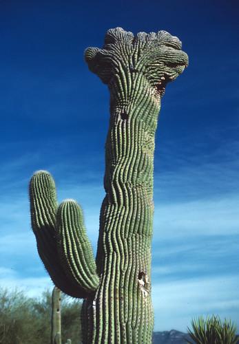 Saguaro (1)