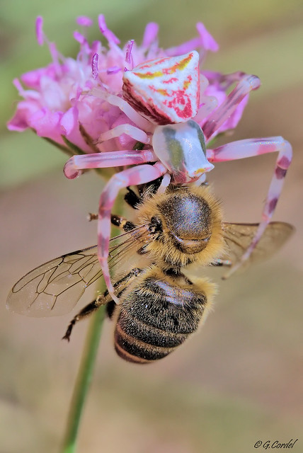 Thomise vs abeille