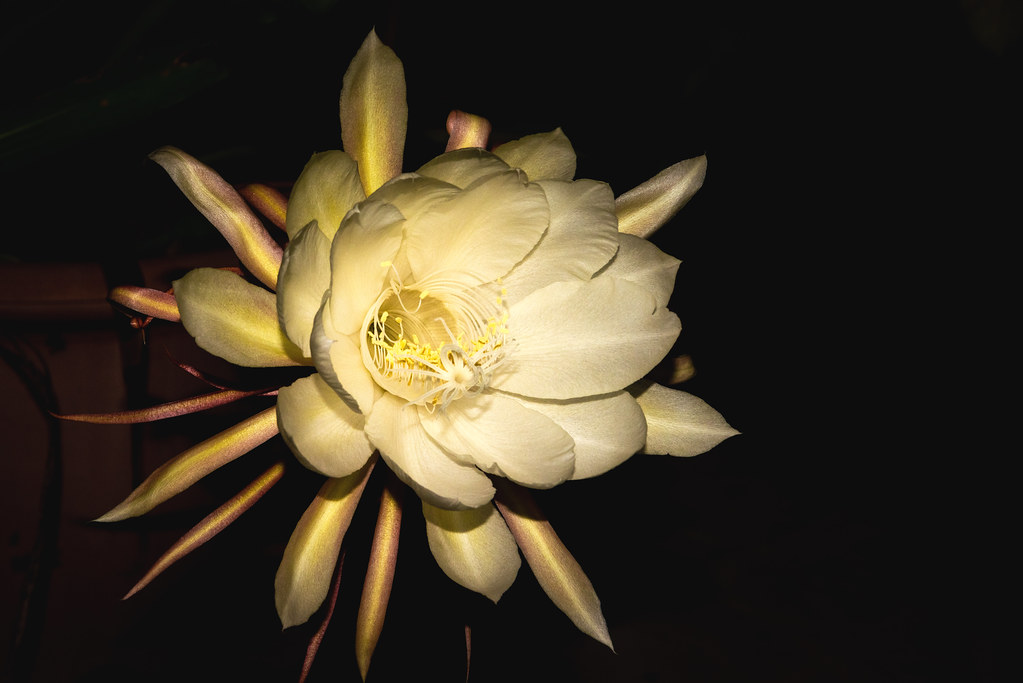 Queen of the Night Late Bloom