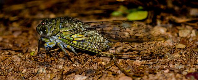 Cicadidae - Hemiptera