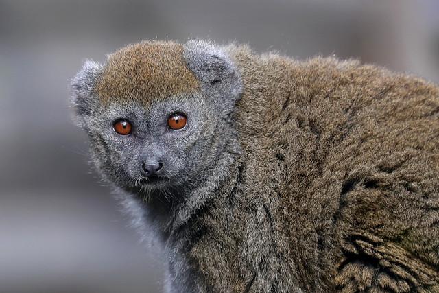 Alaotran Gentle Lemur - Hapalemur alaotrensis