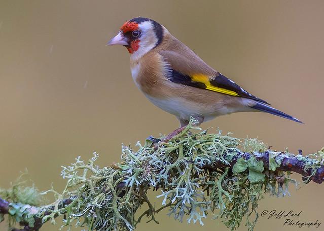 JWL3498  Goldfinch..