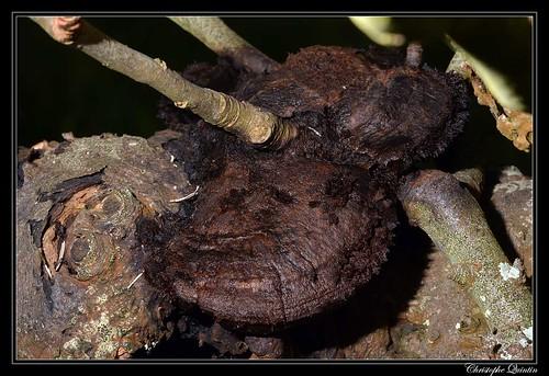 Polypore hérissé (Inonotus hispidus)