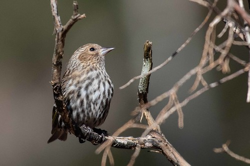 Pine Siskin | by Blue Ridge & Piedmont Naturalist