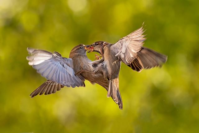 Passer domesticus, Σπιτοσπουργίτης, House sparrow