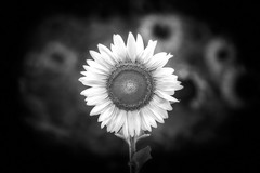 Don't Piss off the Sunflower Monochrome