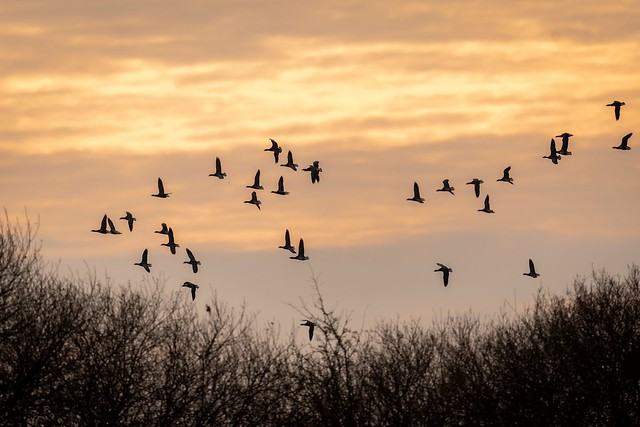 Brent Geese.