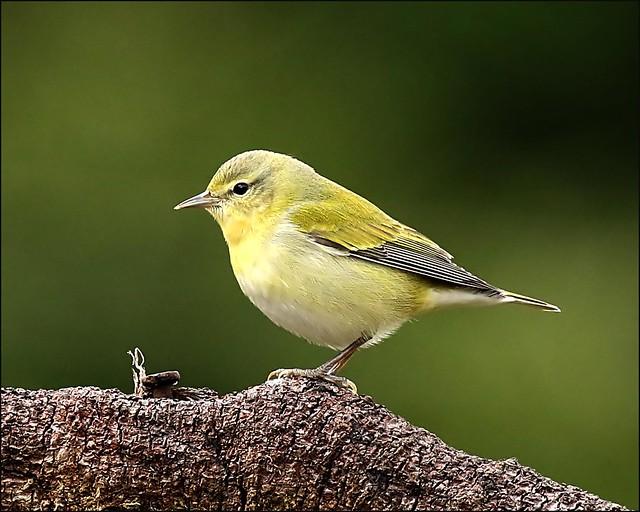 Tenessee Warbler