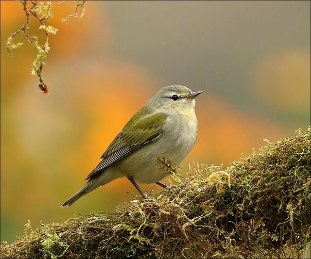 Tenessee Warbler (F)