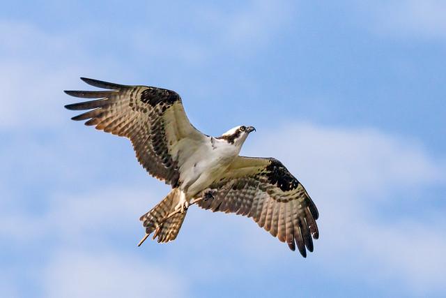 Honeymoon Island Osprey