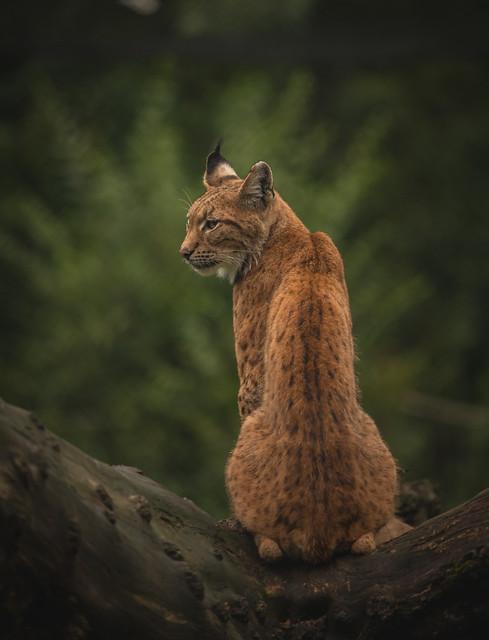 Lenny the Lynx.