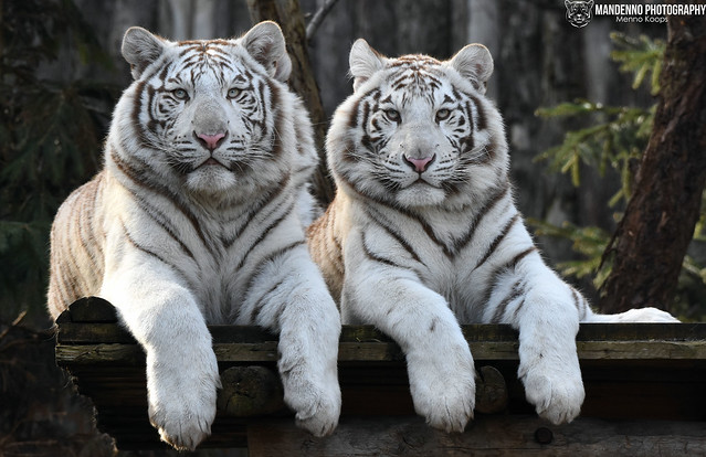 Two bengal white tigers - Zoo Amneville