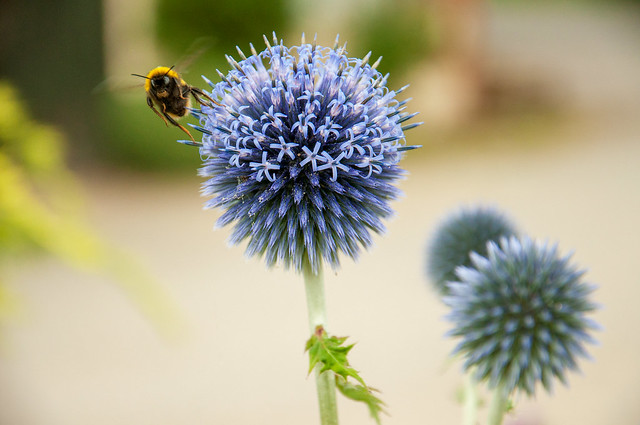 Bumble bee on a globe thistle, posing for a photo!