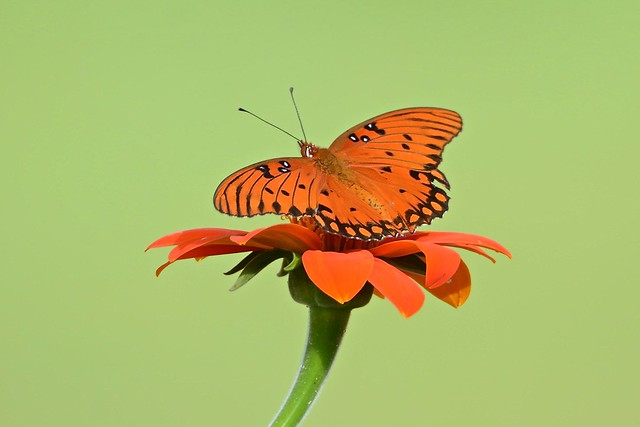 Mexican Sunflower topped with Gulf Fritillary