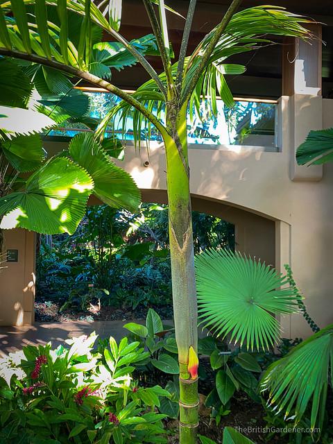 Pinanga philippinensis