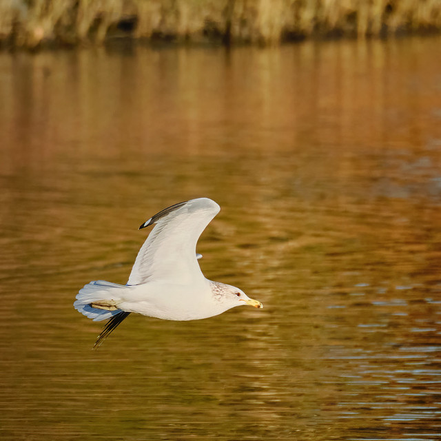 Gull banking after takeoff