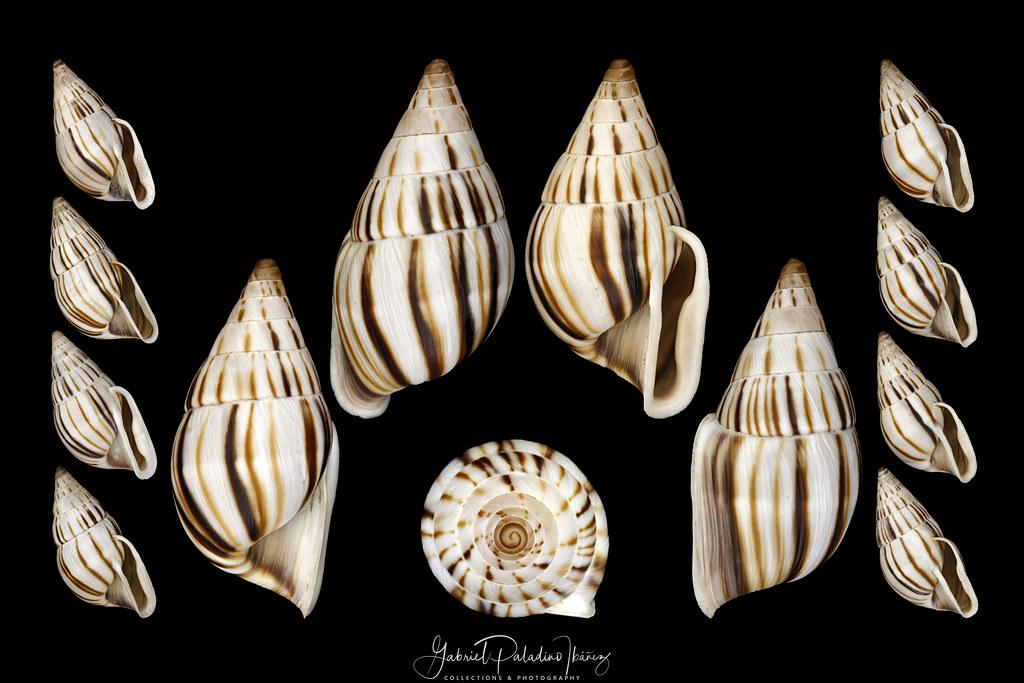 Anctus laminiferus (Ancey, 1888)