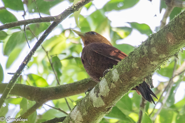 Carpintero castaño, Celeus castaneus, Chestnut-colored Woodpecker