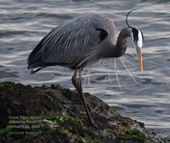 Great Blue Heron on shoreline
