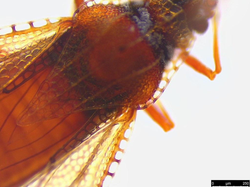 8d - Ulonemia sp.