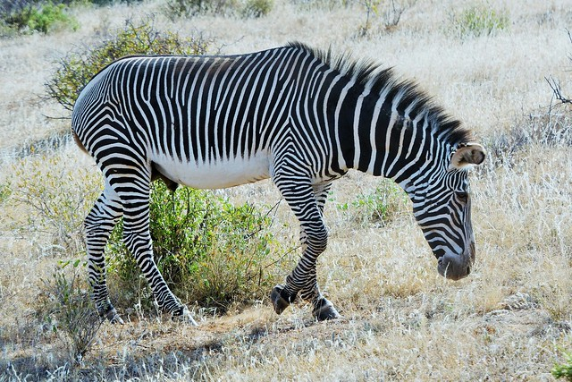 Today is International Zebra Day, January 2021
