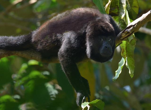 Wild Howler monkey in the rain forest.