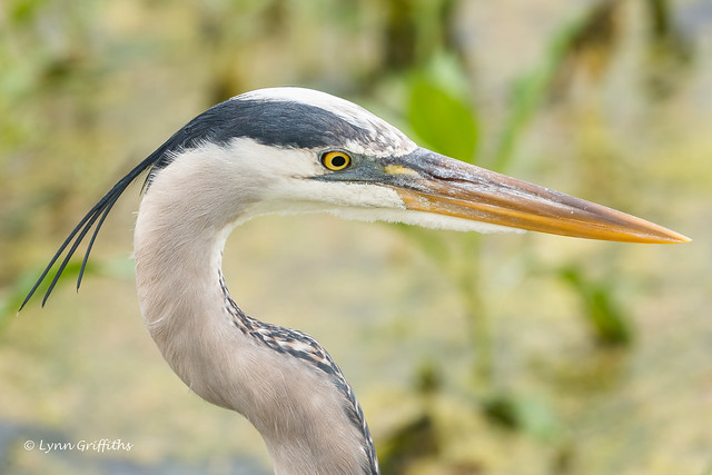 Great Blue Heron 502_4253.jpg