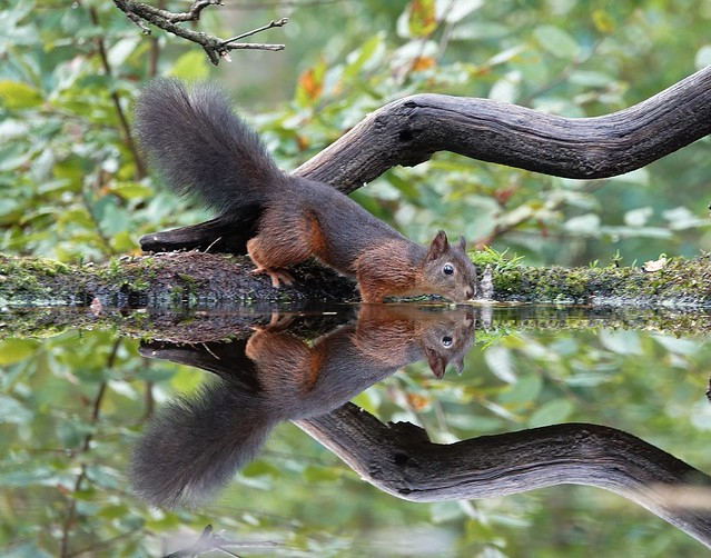 squirrel in reflection