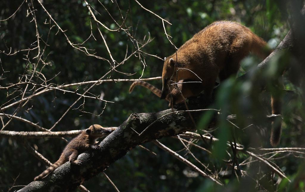 Coati commun - Parque Nacional Iguazu/Misiones/Argentina_20171109_002-1