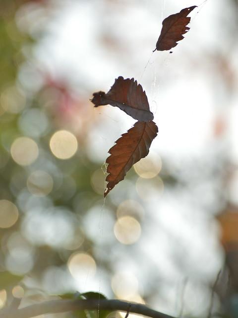蜘蛛の糸にかかった枯葉