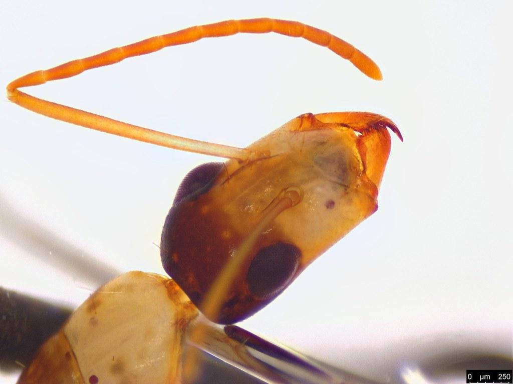 60d - Camponotus sp.