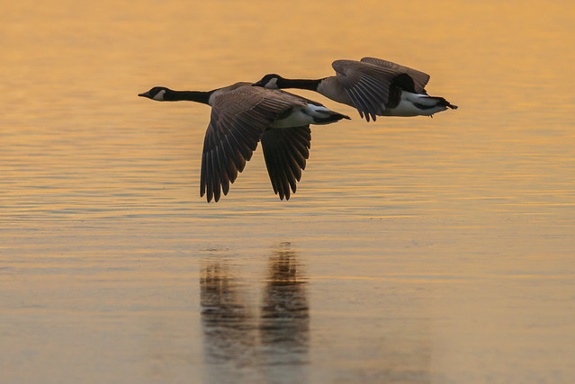 Morning Light | Canada Geese