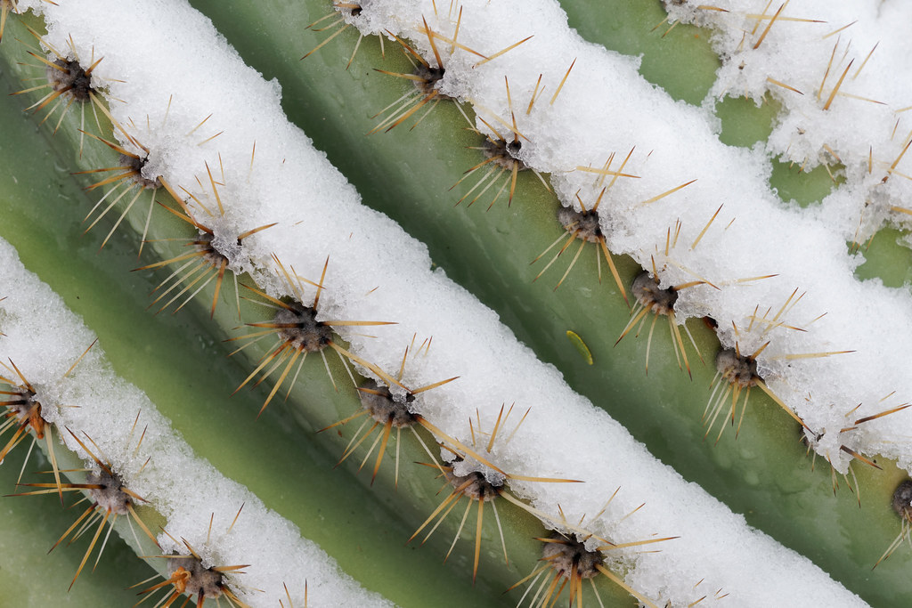 Melting snow sits on the pleats of a saguaro in our front yard in Scottsdale, Arizona on January 25, 2021. Original: _CAM9141.arw