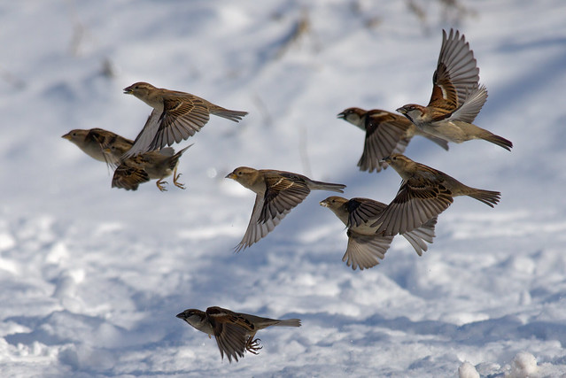 House Sparrows | Frozen in Time