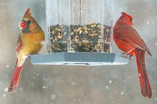 nikon d500 tamron cardinals northerncardinal birds birdsfeeding outdoors birdfeeder couple nature